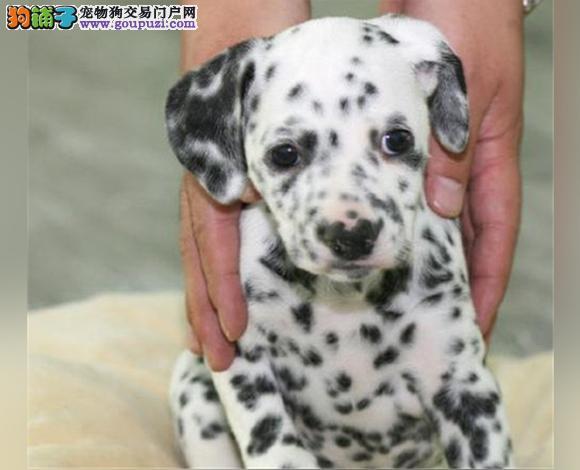 银川出售纯种斑点犬幼犬大麦町犬花色均匀包健康包纯种