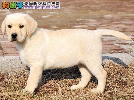 银川出售纯种拉布拉多犬拉拉幼犬导盲犬家养宠物狗狗