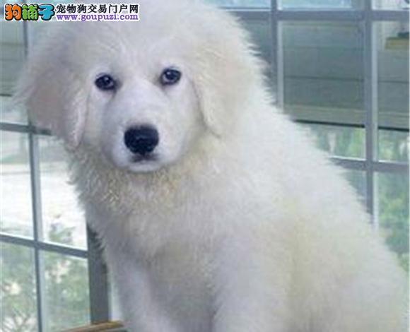 银川出售纯种大白熊犬幼犬大骨架 银川大白熊多少钱