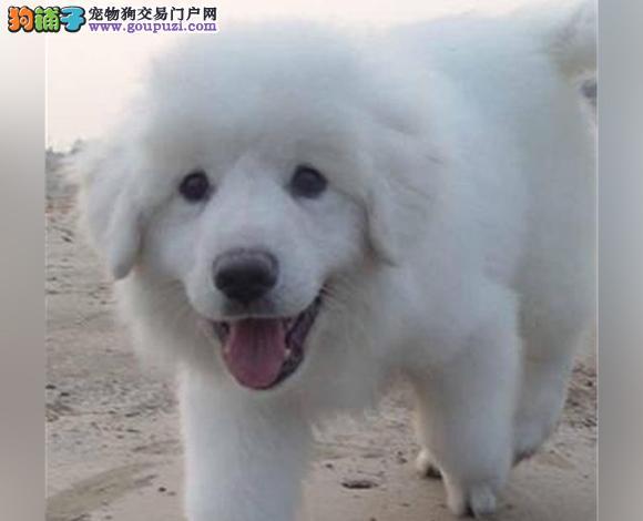 昆明出售纯种大白熊犬幼犬大骨架 昆明大白熊多少钱