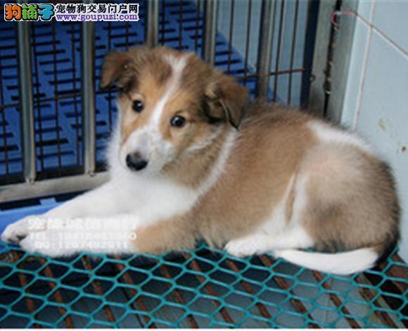 昆明出售纯种苏牧苏格兰牧羊犬幼犬长毛伴侣犬多少钱