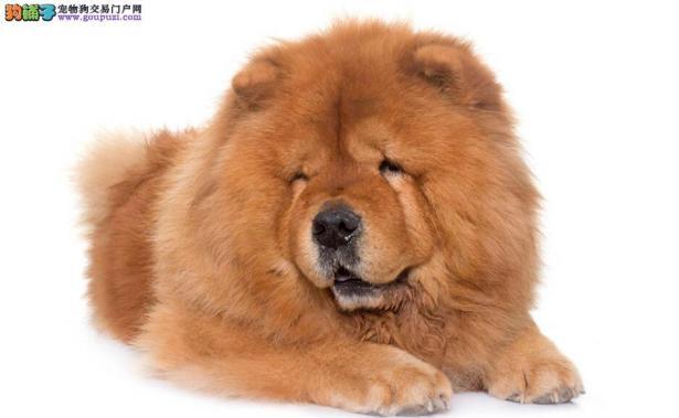 挑选一只好的松狮犬的方法有哪些5