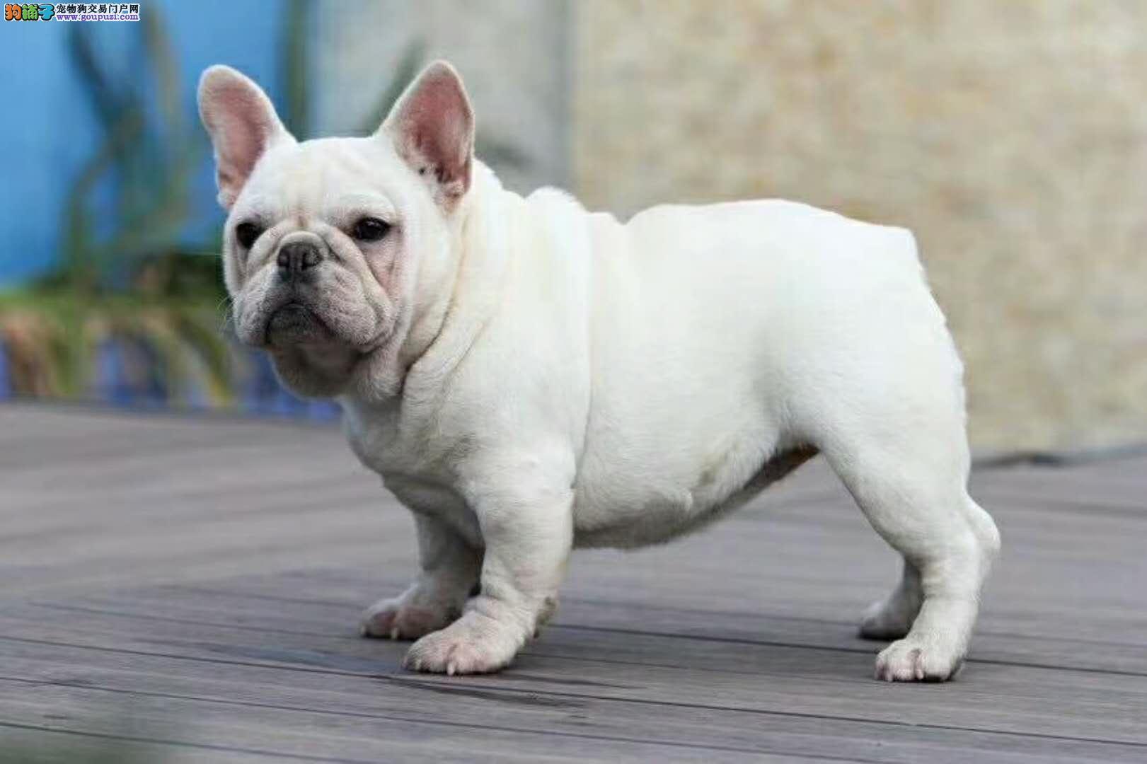 血统豪华 品质高端 纯种小方体法国斗牛犬