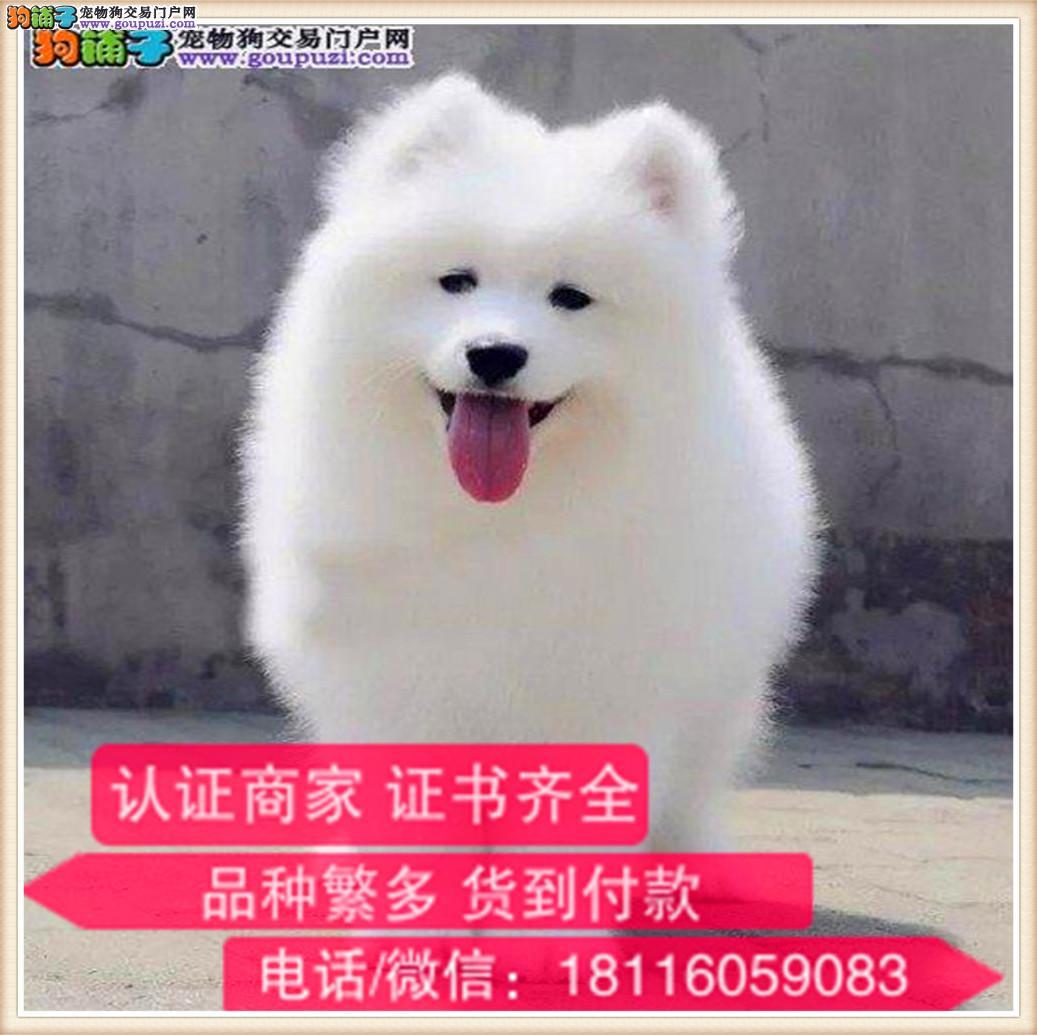 官方保障|出售纯种萨摩耶 健康有保障 可签购犬协议