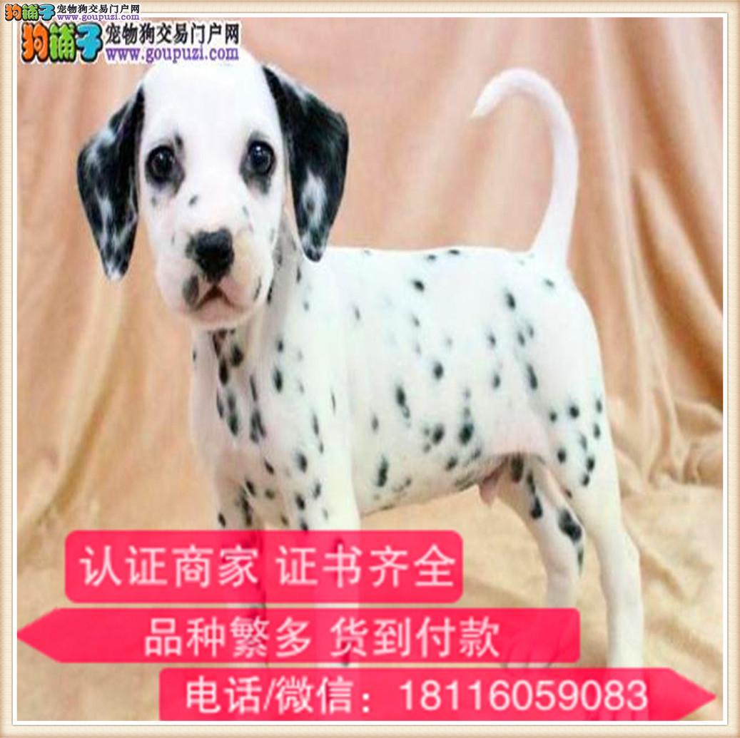 出售纯种斑点狗 健康有保障 可签购犬协议