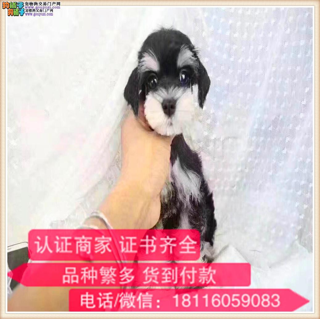 官方保障 出售纯种雪纳瑞 健康有保障 可签购犬协议