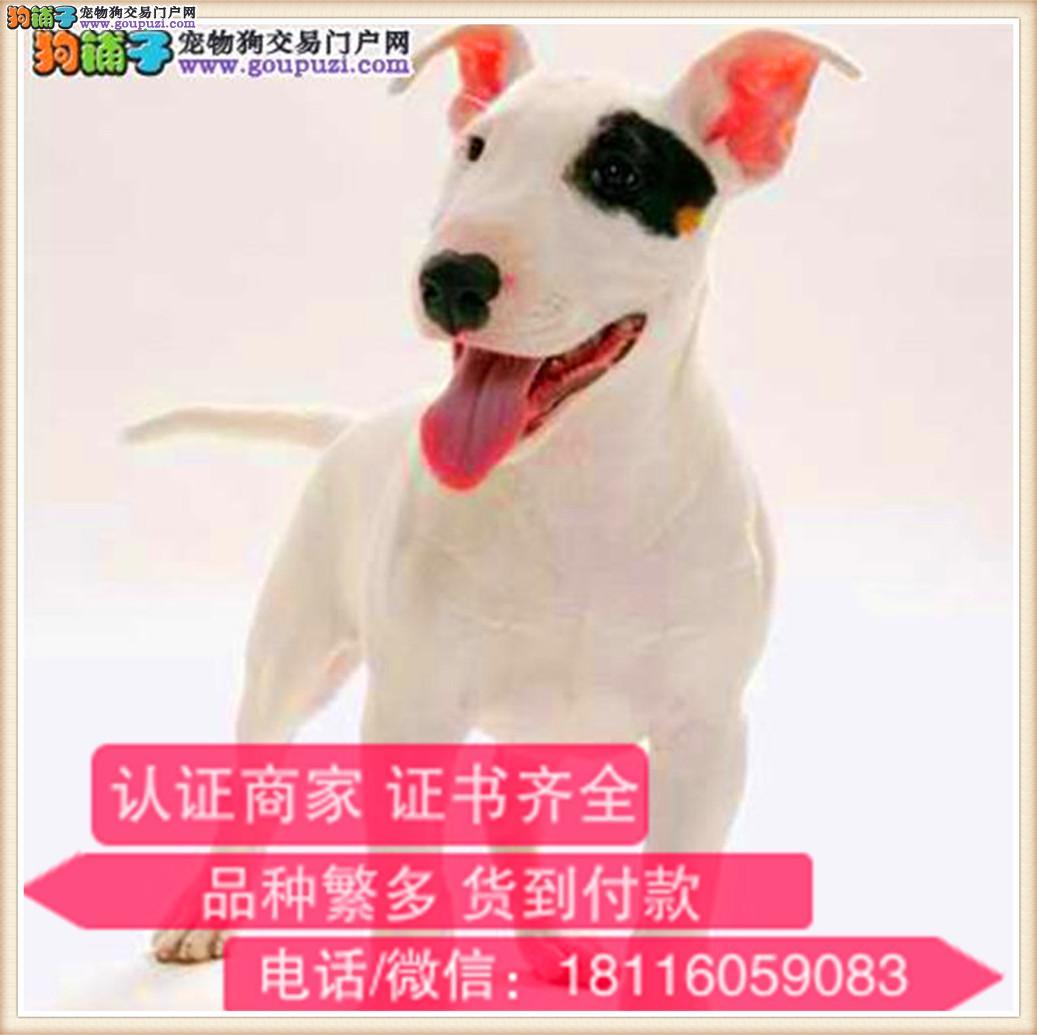 官方保障|出售纯种 牛头梗健康有保障 可签购犬协议