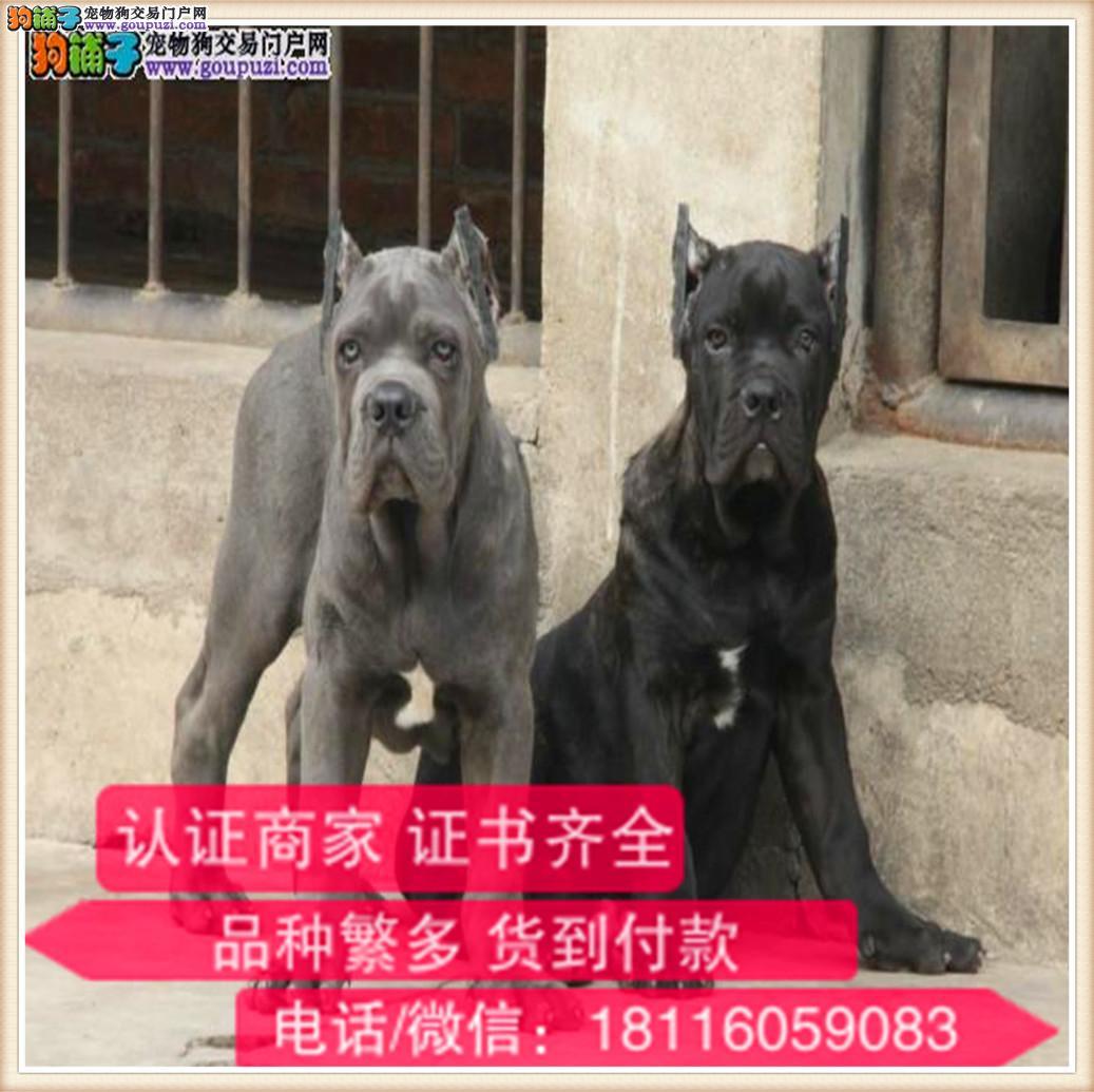 官方保障|出售纯种 卡斯罗健康有保障 可签购犬协议