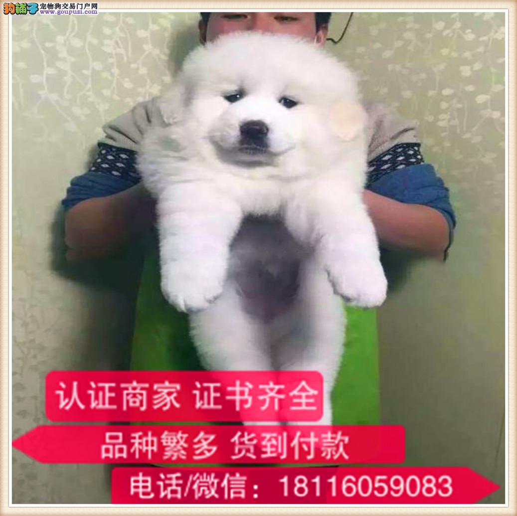 官方保障|犬舍繁殖纯种大白熊 纯种健康养活 可签协议