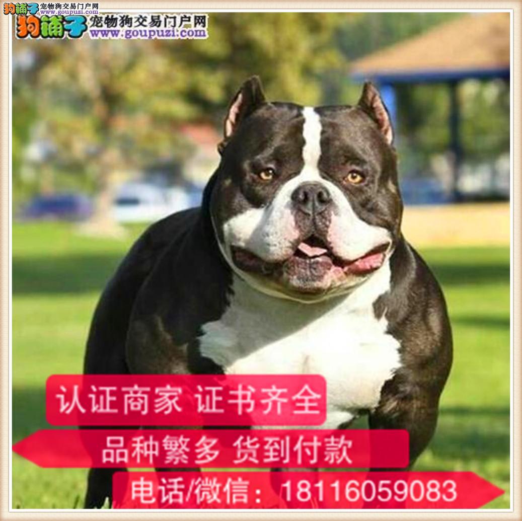 官方保障|出售纯种 恶霸包健康有保障可签购犬协议