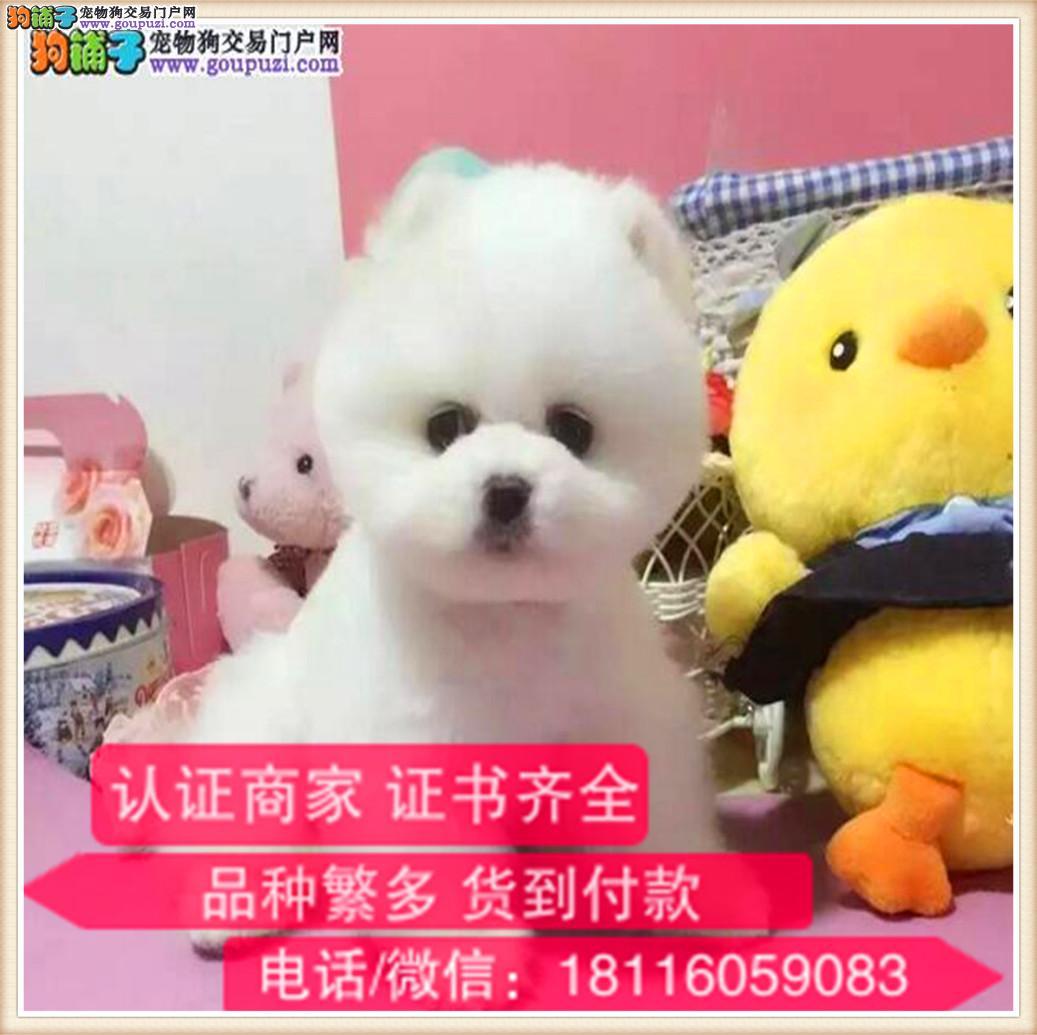 官方保障 犬舍繁殖纯种博美犬 纯种健康养活 可签协议