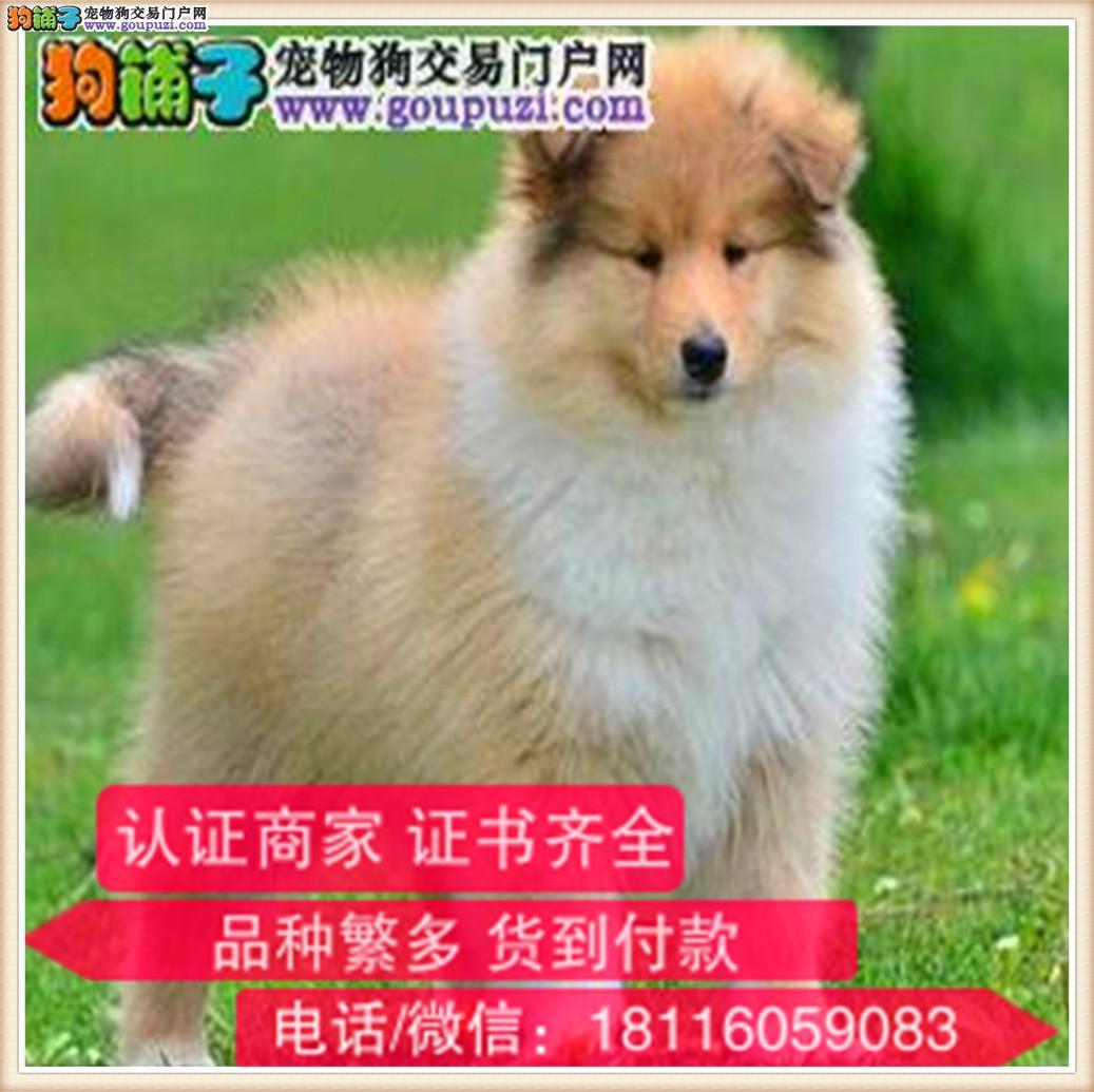 官方保障|犬舍繁殖纯种苏牧 纯种健康养活 可签协议