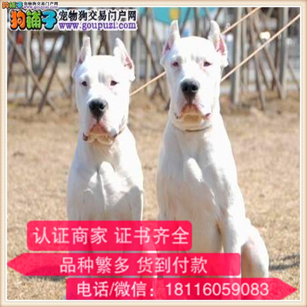 官方保障|出售纯种杜高 包健康有保障可签购犬协议