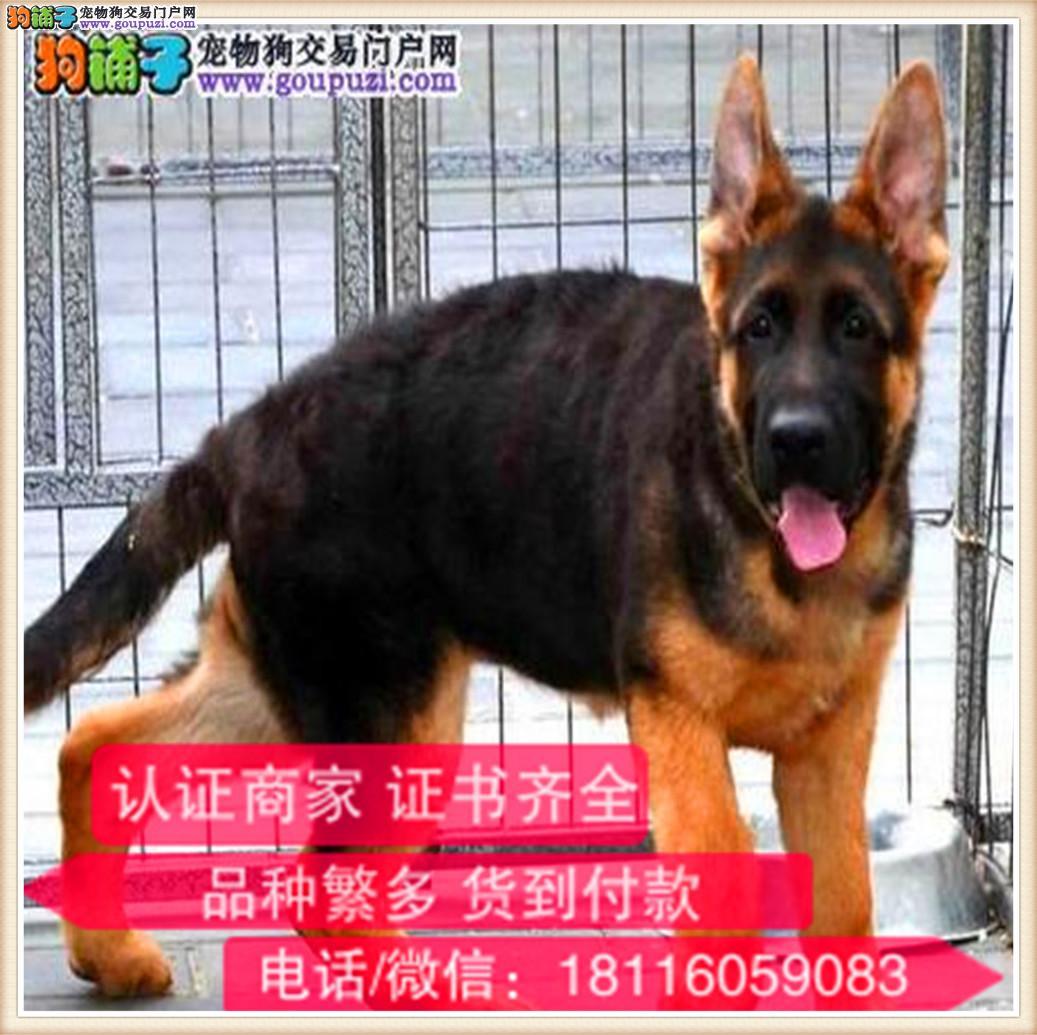 官方保障 长期繁殖德牧 各类纯种名犬 包养活签协议