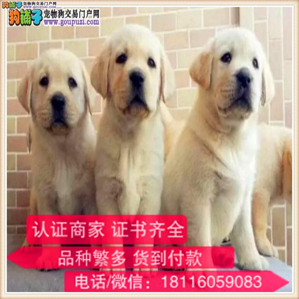 官方保障 出售纯种拉布拉多 包健康有保障可签购犬协议