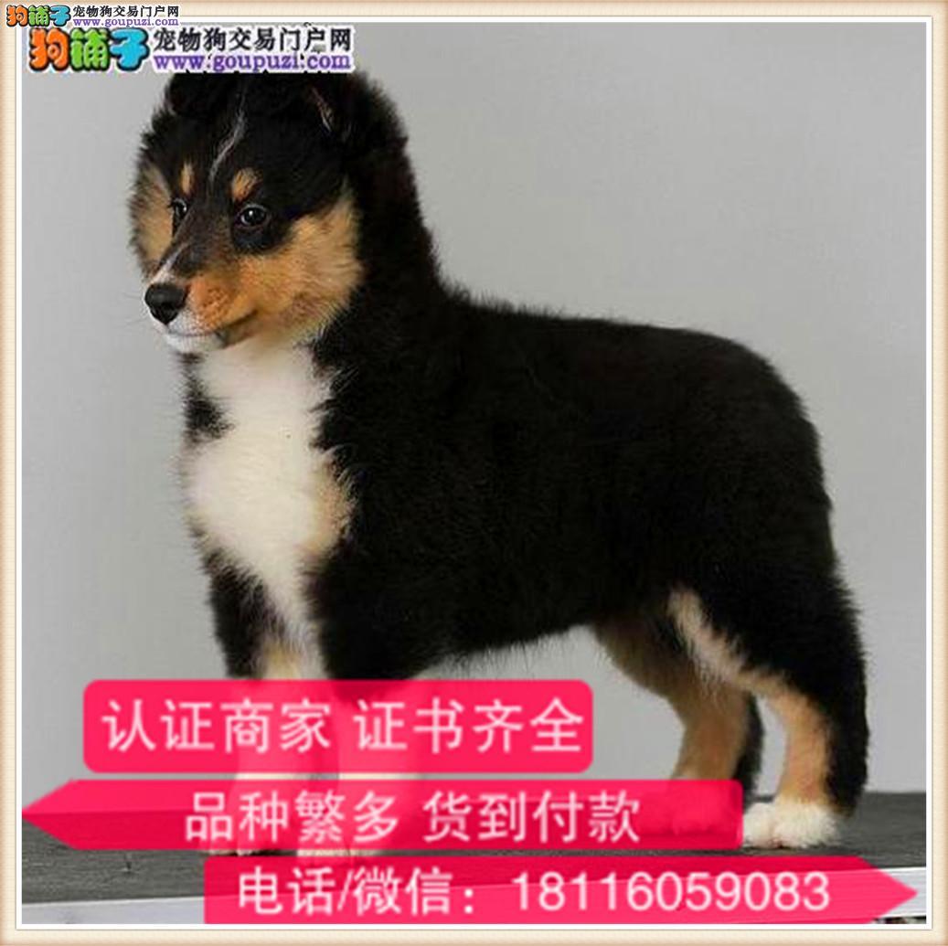 官方保障|出售纯种喜乐蒂 包健康有保障可签购犬协议