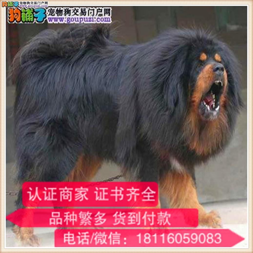 官方保障|出售纯种藏獒 包健康有保障可签购犬协议