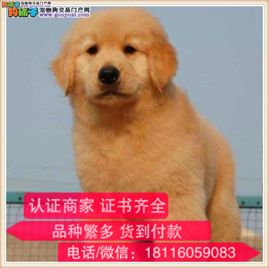 官方保障|长期繁殖金毛 各类纯种名犬 包养活签协议