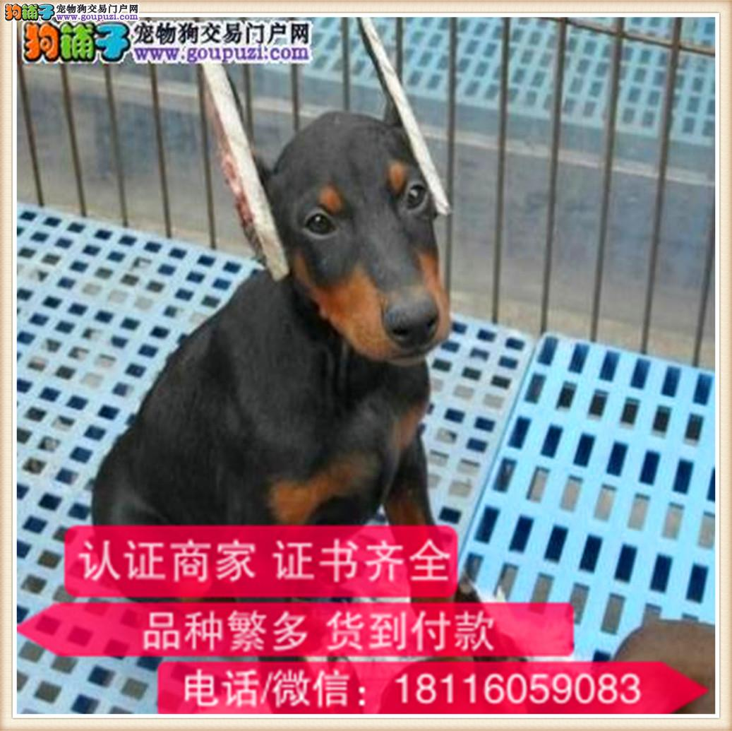 官方保障 犬舍繁殖纯种杜宾 纯种健康养活 可签协议