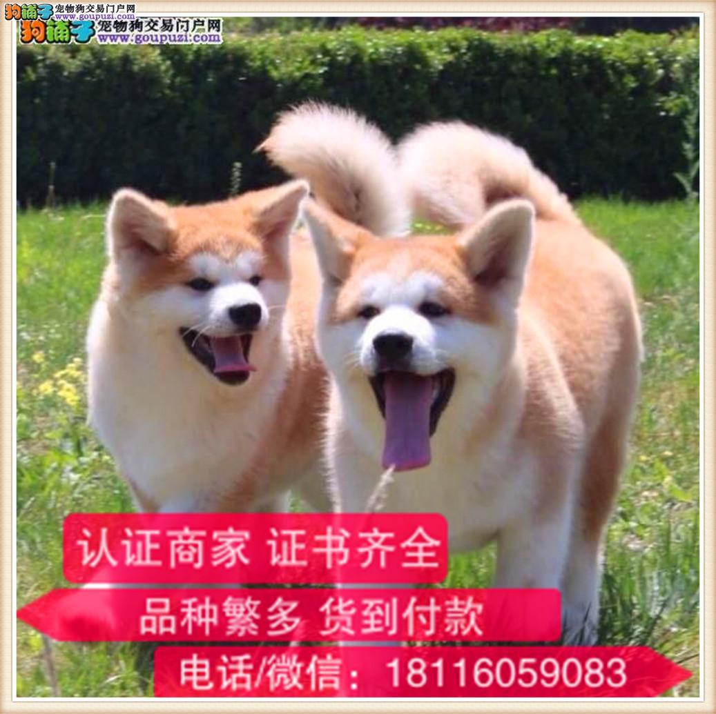 官方保障 专业繁殖 秋田犬签协议带证书可上门挑选