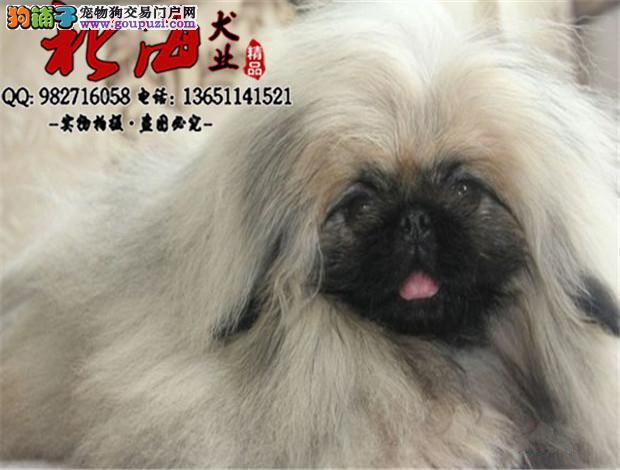 北京纯种京巴幼犬多少钱一只