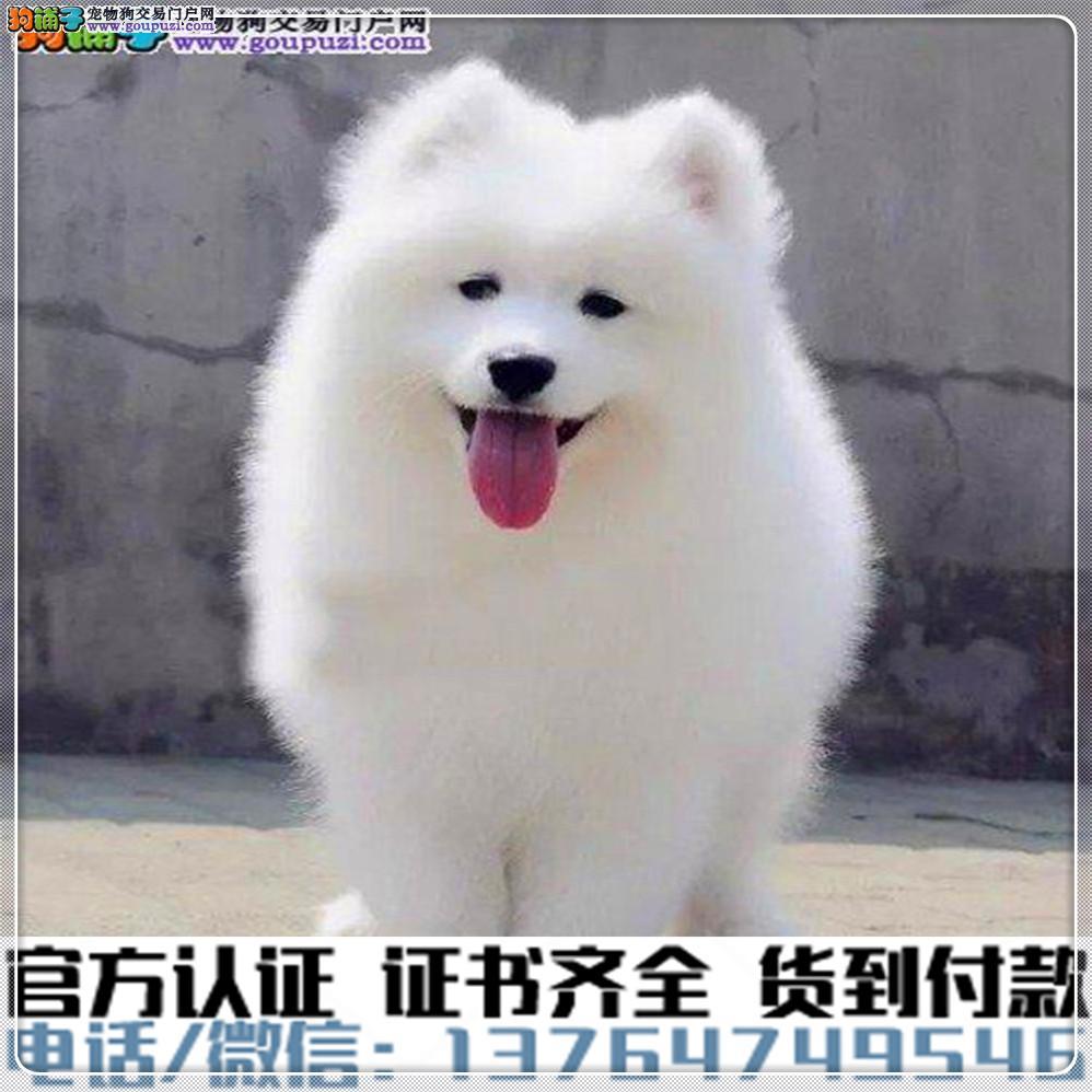 纯种萨摩耶犬 包健康好养.购买签协议.疫苗齐全
