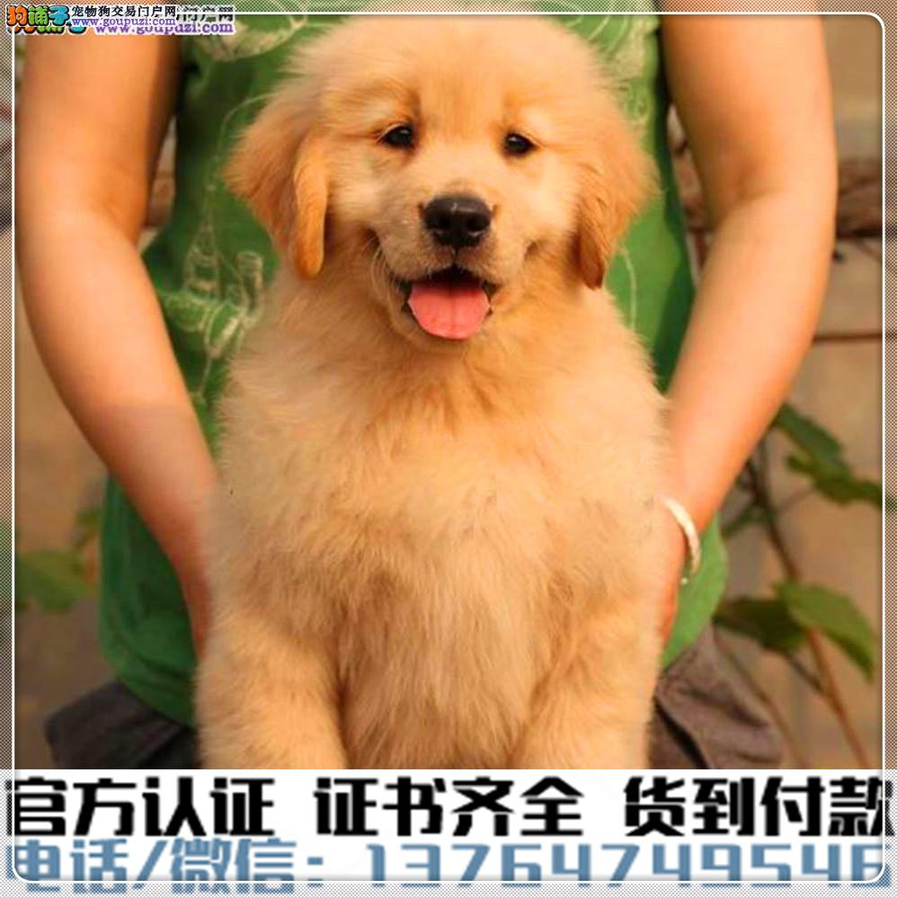 高端纯种金毛幼犬,全国送货包纯种签合同
