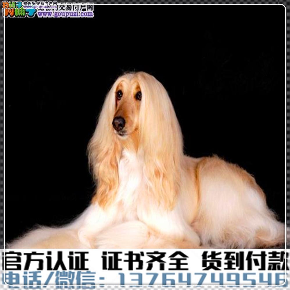 纯种阿富汗猎犬丨血统纯正健康包活丨签署质保合同