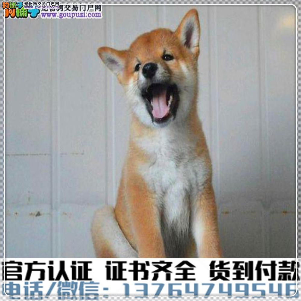 高端纯种柴犬幼犬,全国送货包纯种签合同