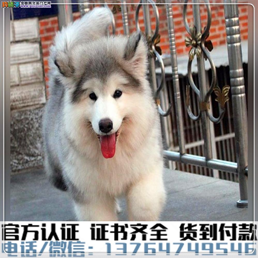 高端纯种阿拉斯加幼犬,全国送货包纯种签合同