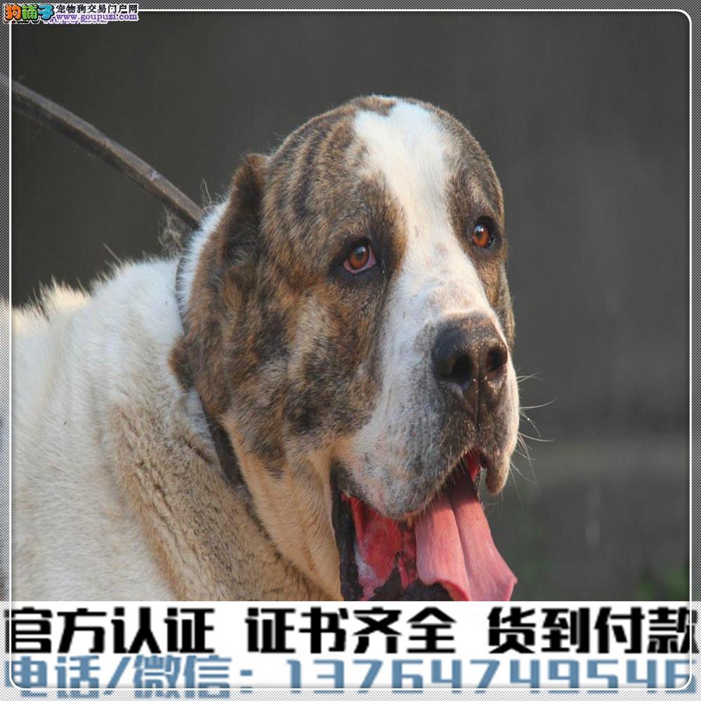 高端纯种中亚牧羊幼犬,全国送货包纯种签合同