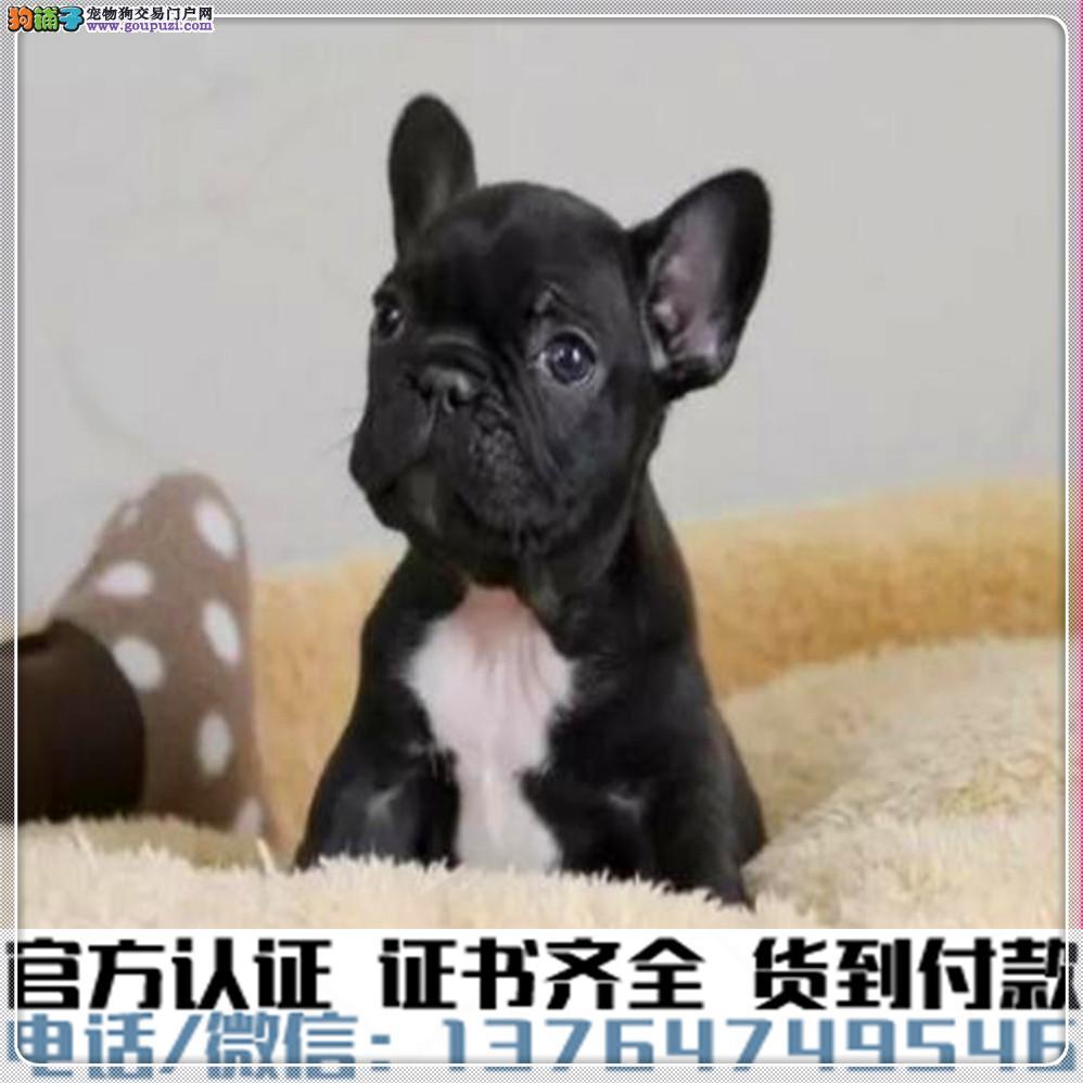 高端纯种 法国斗牛幼犬,全国送货包纯种签合同
