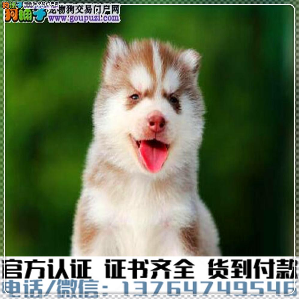 高端纯种 哈士奇幼犬,全国送货包纯种签合同