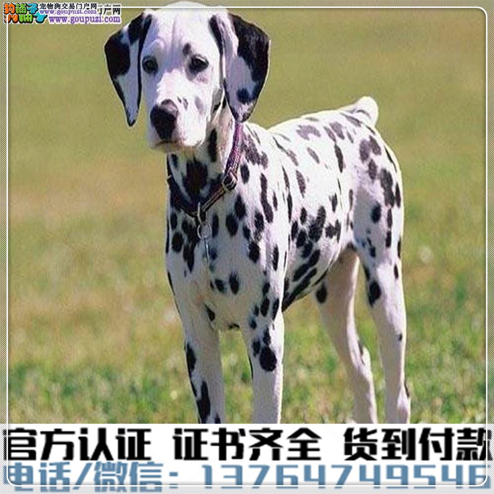 高端纯种 斑点幼犬,全国送货包纯种签合同