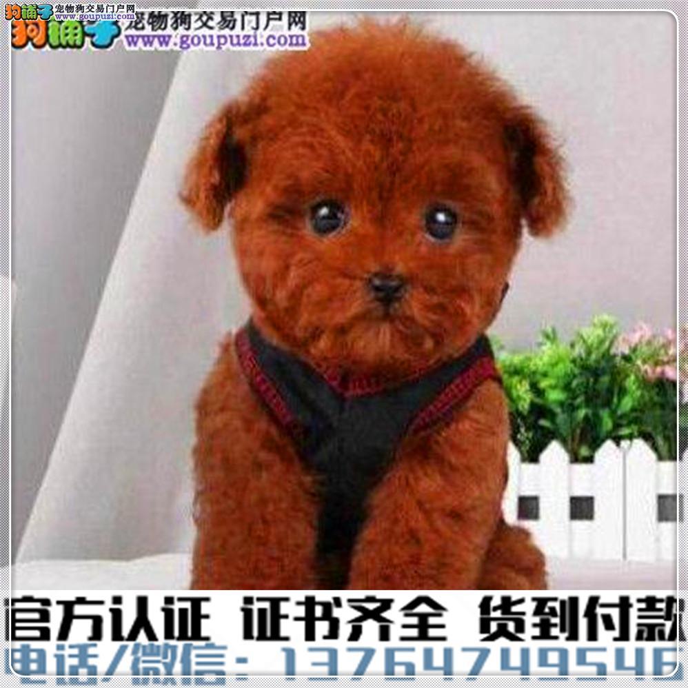 高端纯种 泰迪幼犬,全国送货包纯种签合同
