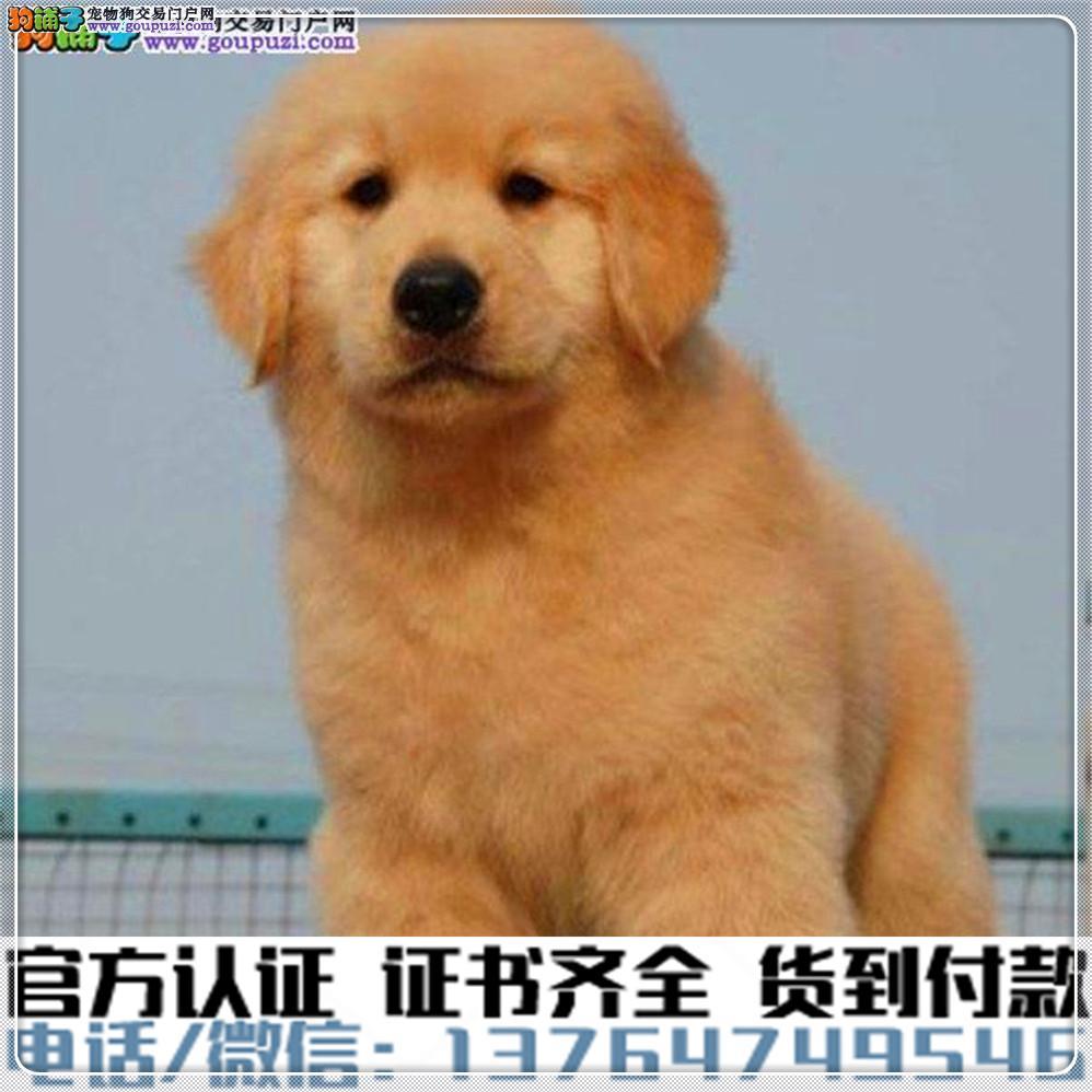 犬舍直销纯种金毛犬幼犬疫苗齐全赠送全套宠物用品