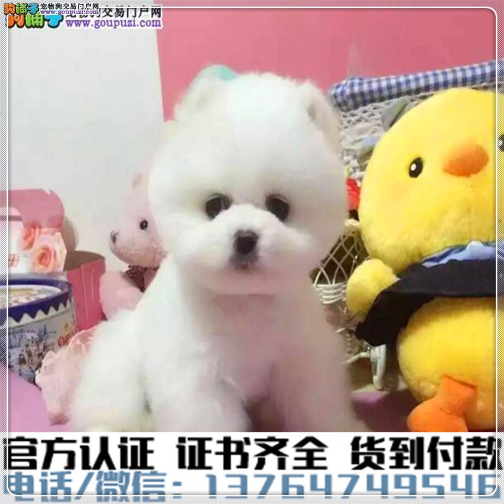 犬舍直销纯种博美犬疫苗齐全赠送全套宠物用品