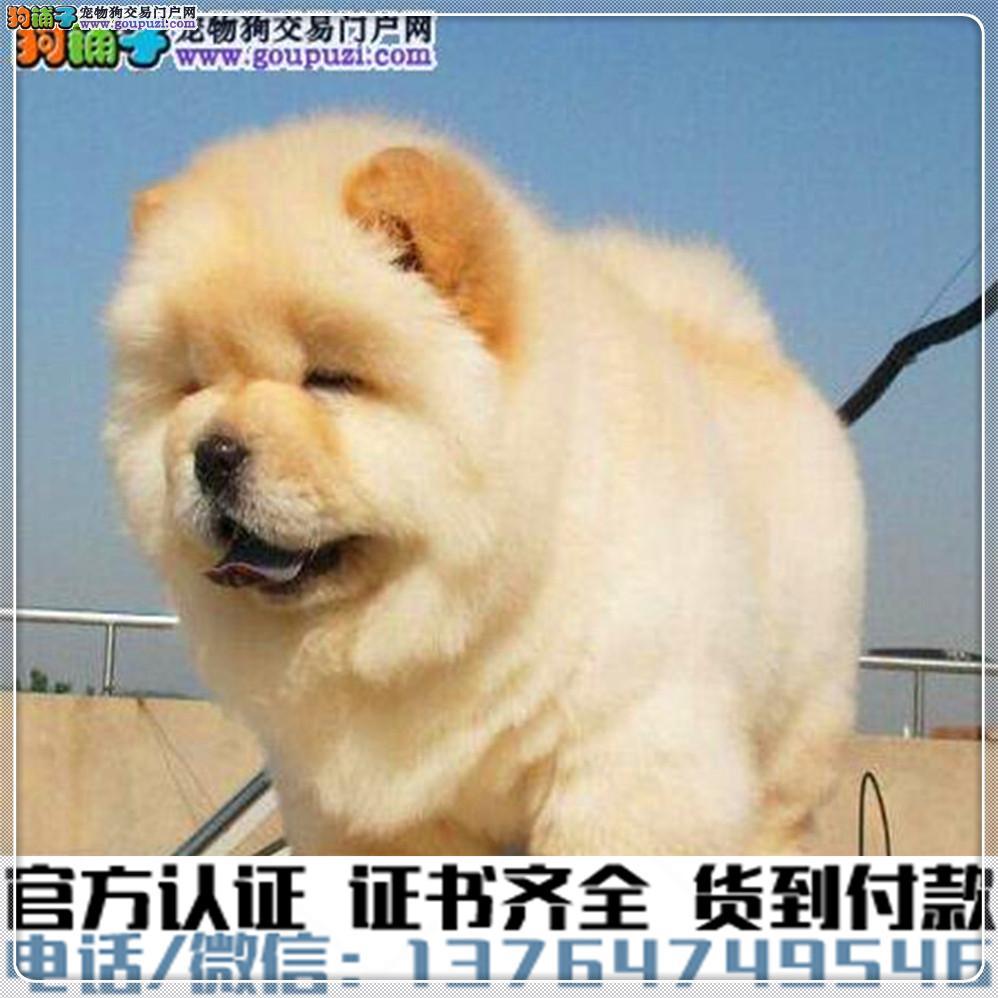 犬舍直销纯种松狮犬幼犬疫苗齐全赠送全套宠物用品