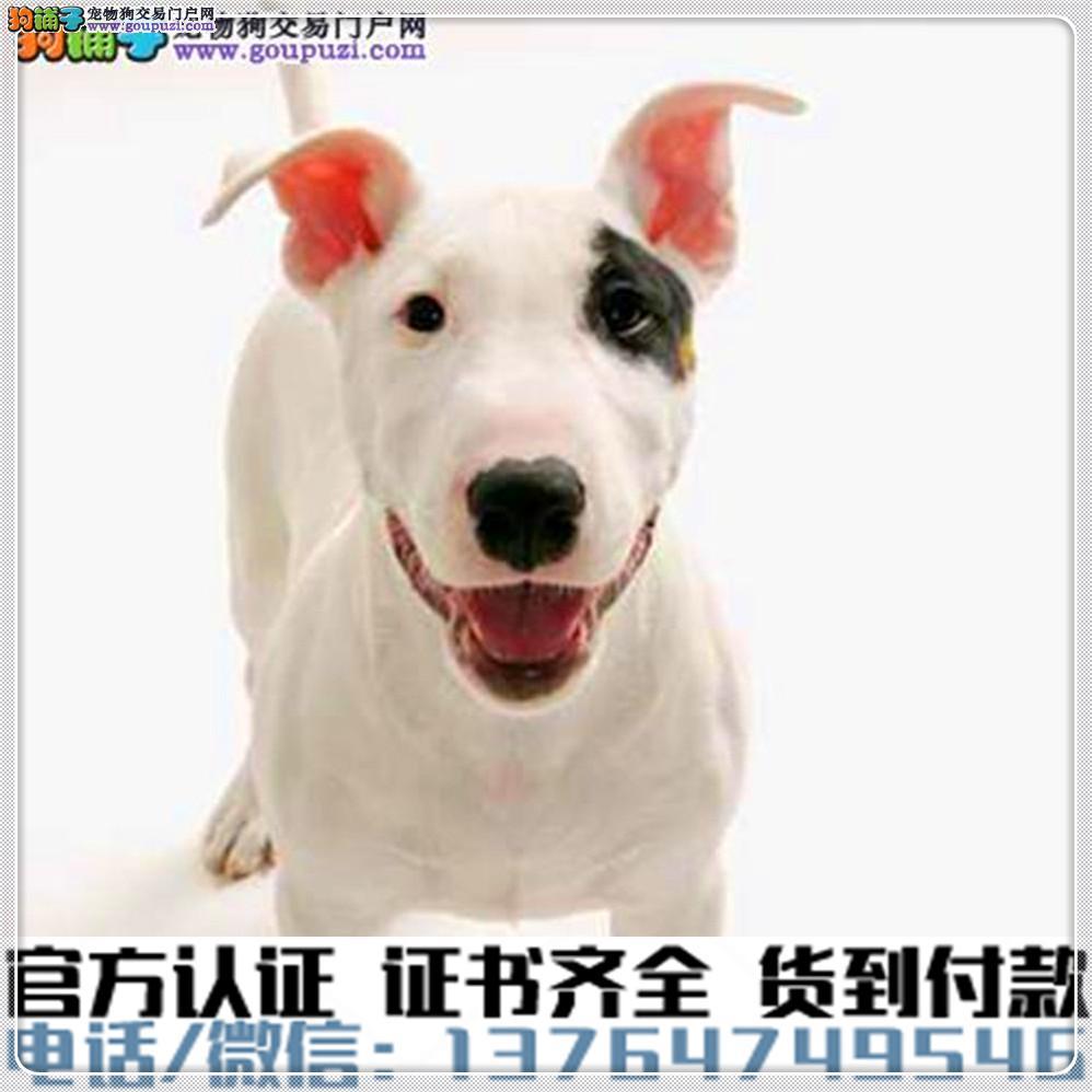 犬舍直销:纯种牛头梗幼犬疫苗齐全赠送全套宠物用品