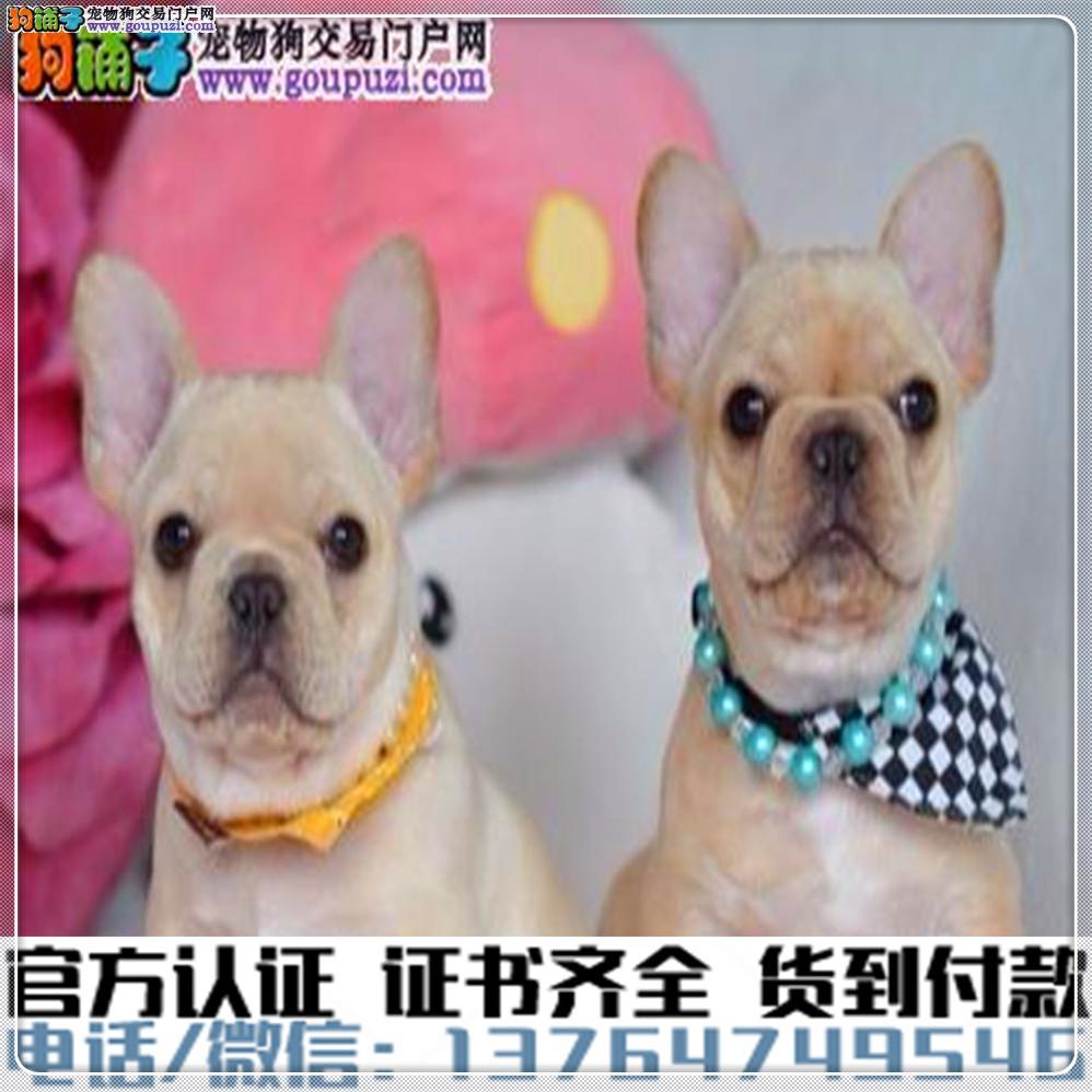 犬舍直销:纯种法斗幼犬疫苗齐全赠送全套宠物用品