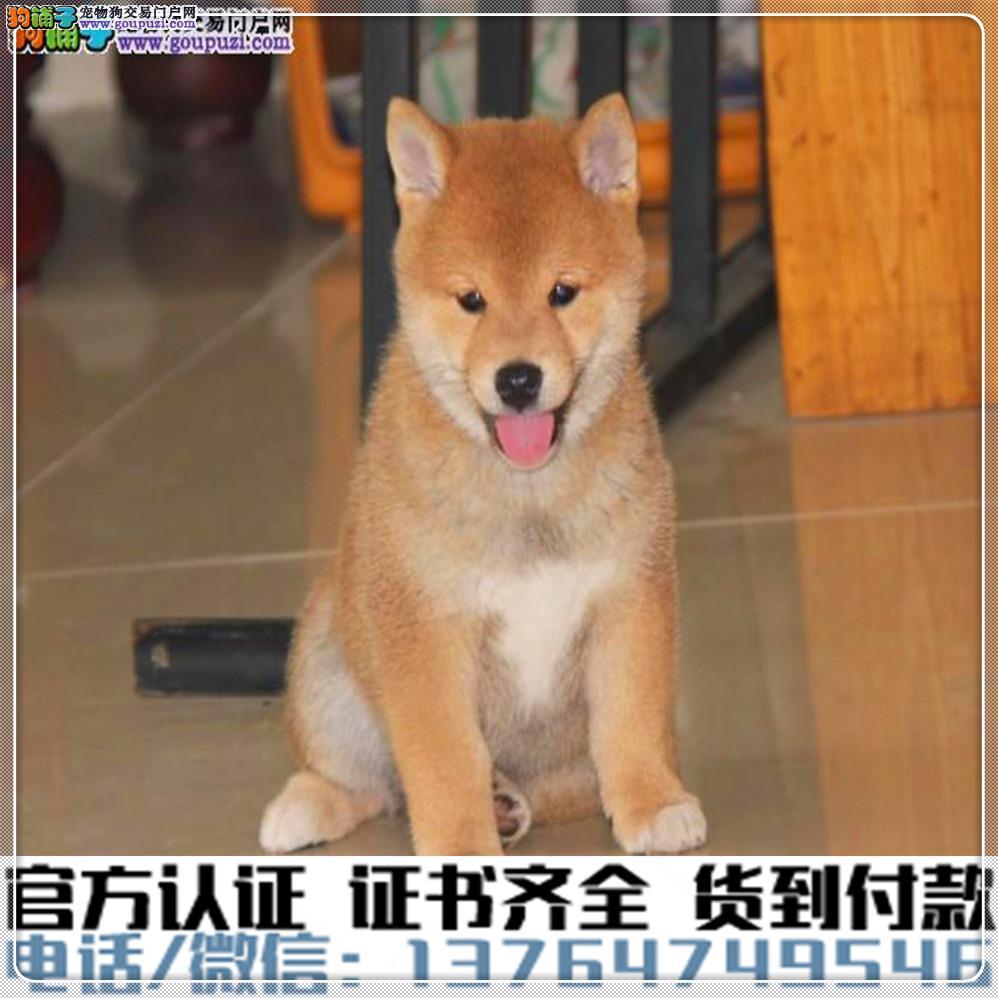 犬舍直销:纯种柴犬幼犬疫苗齐全赠送全套宠物用品
