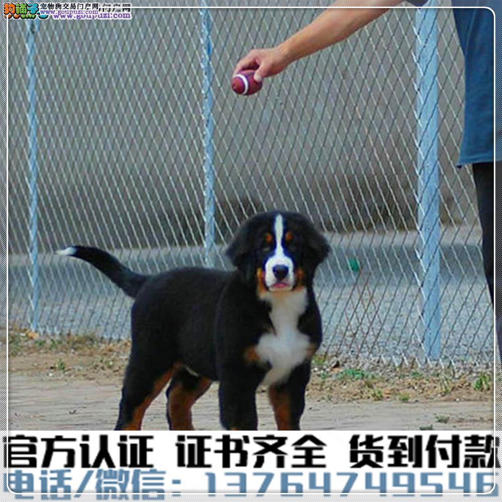 犬舍直销:纯种伯恩山幼犬疫苗齐全赠送全套宠物用品