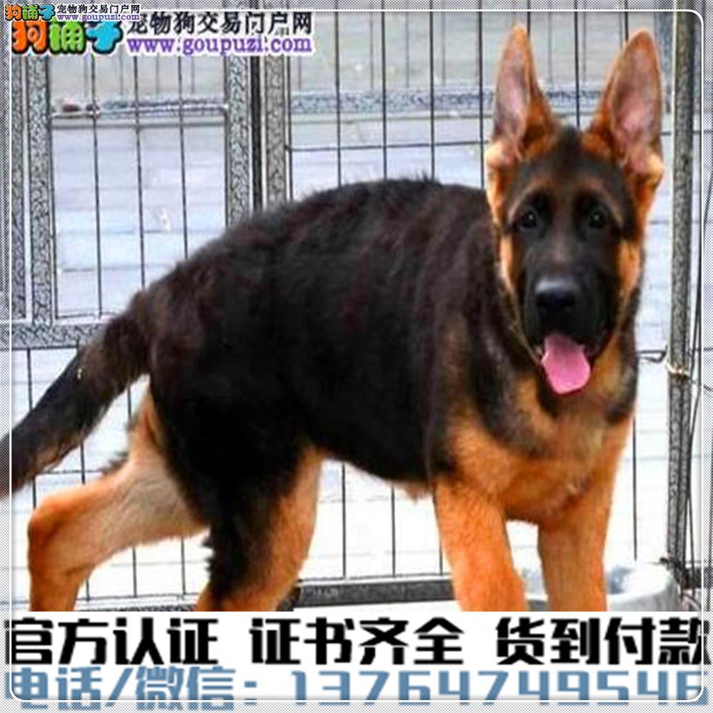 犬舍直销:纯种狼狗幼犬疫苗齐全赠送全套宠物用品