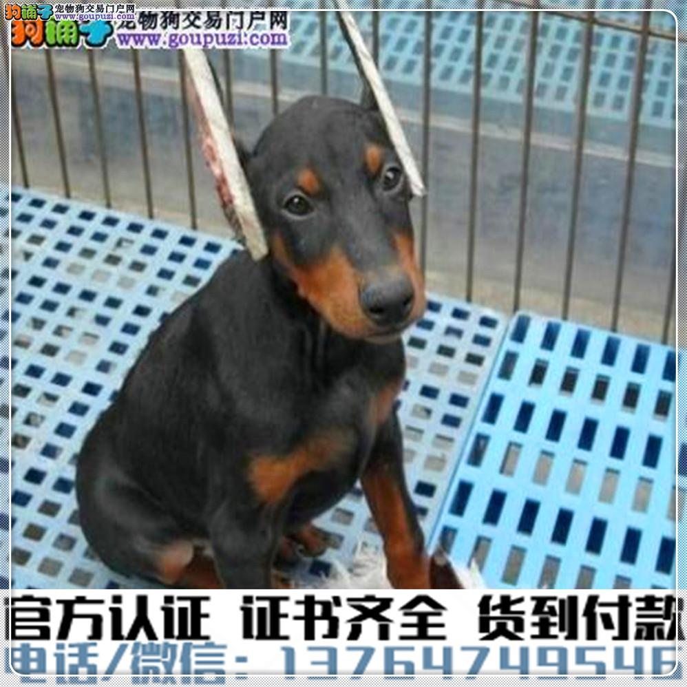 官方保障犬舍繁殖纯种杜宾犬纯种健康养活 可签协议