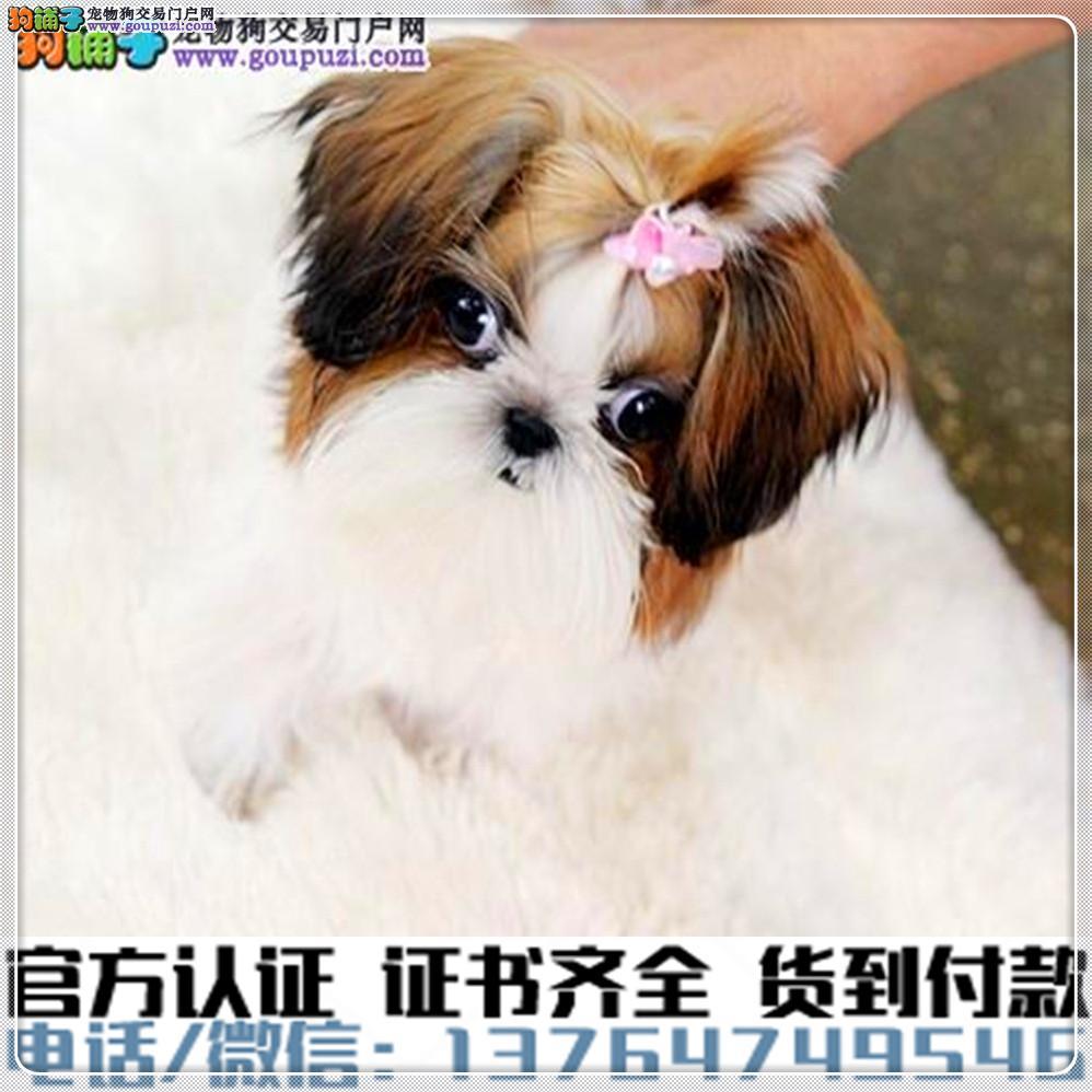 官方保障犬舍繁殖纯种西施犬 种健康养活 可签协议