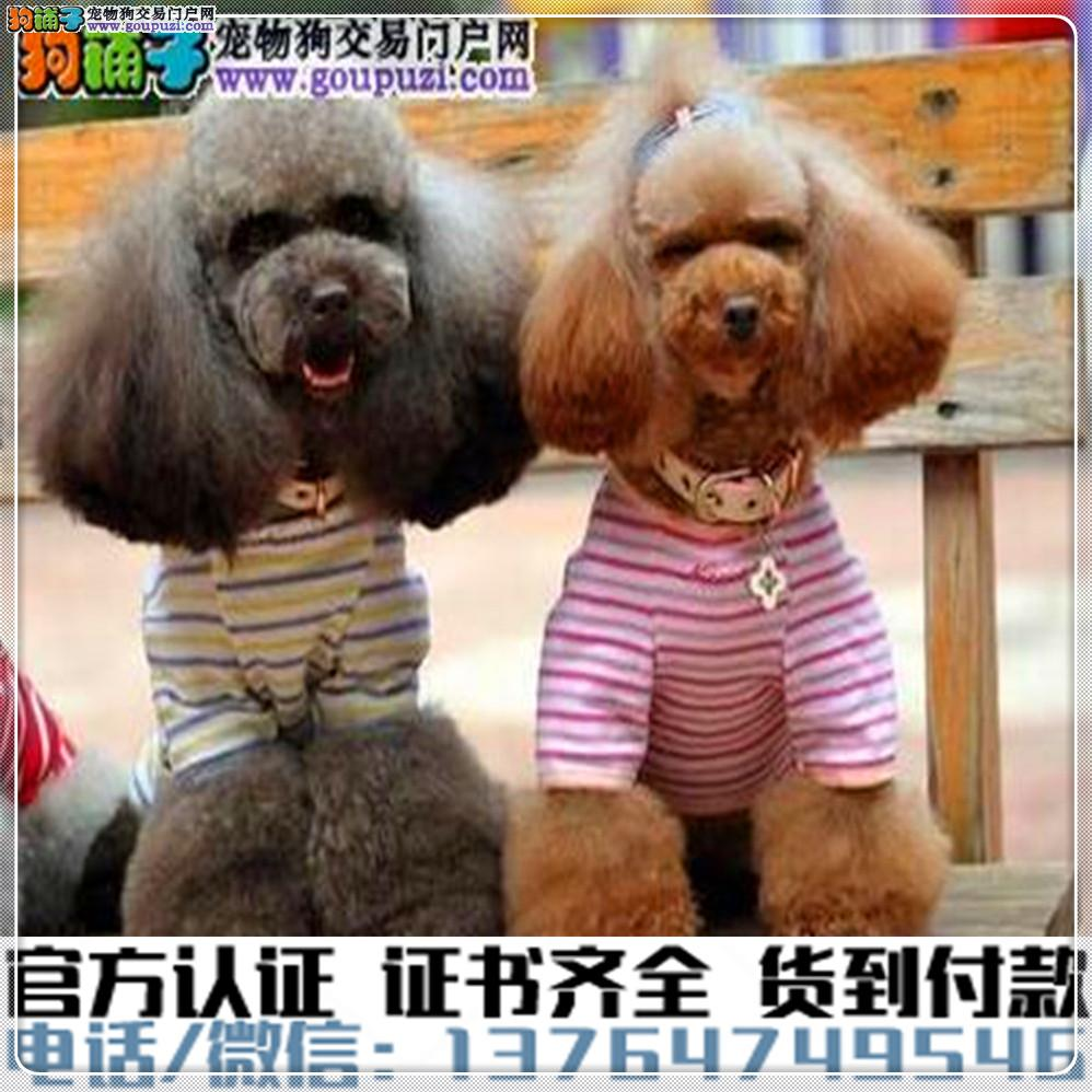 官方保障犬舍繁殖纯种贵宾纯种健康养活 可签协议.