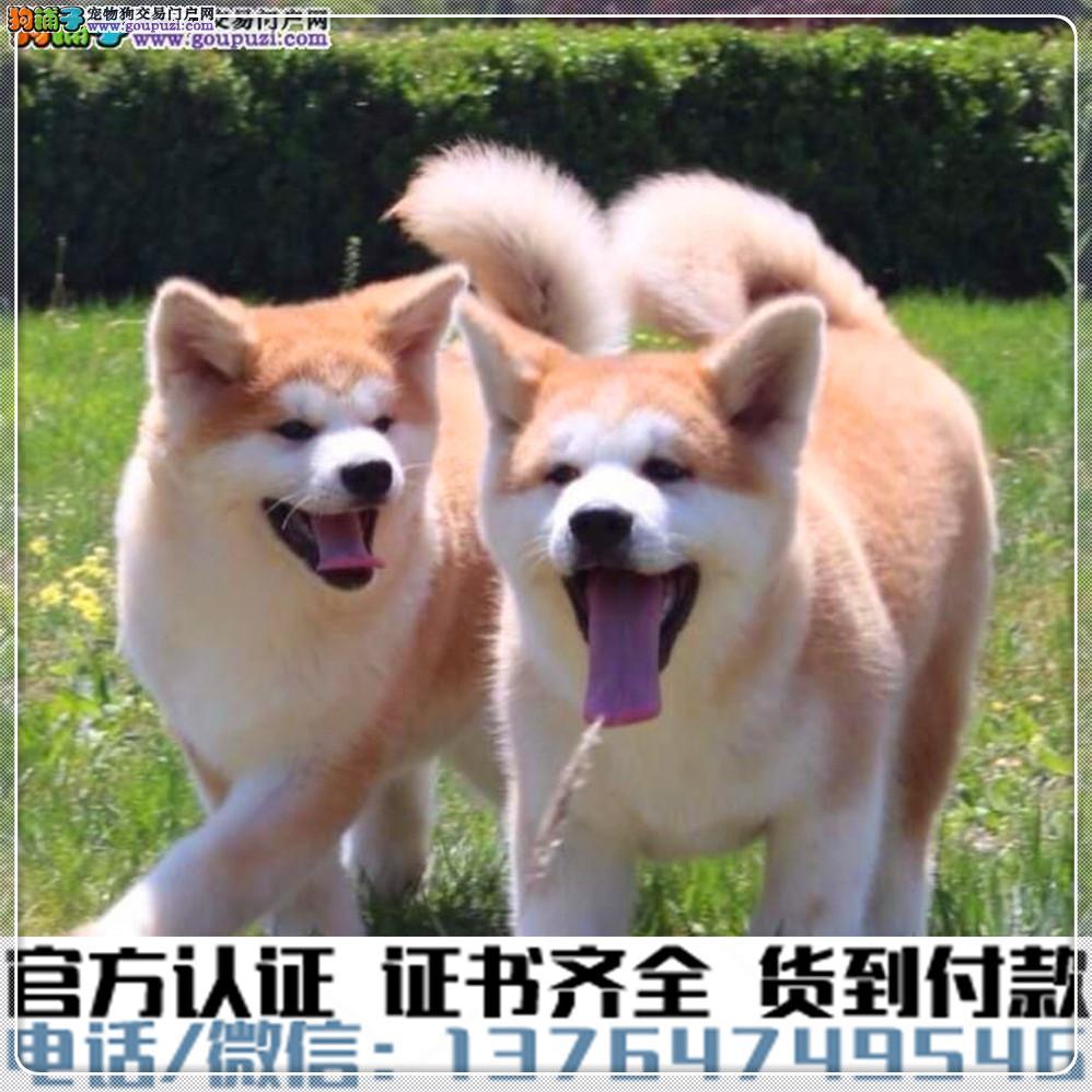 官方保障犬舍繁殖纯种秋田 纯种健康养活 可签协议.