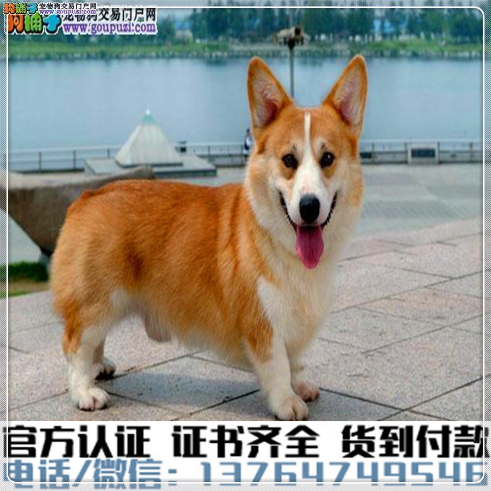 犬舍繁殖纯种柯基 纯种健康养活可签协议