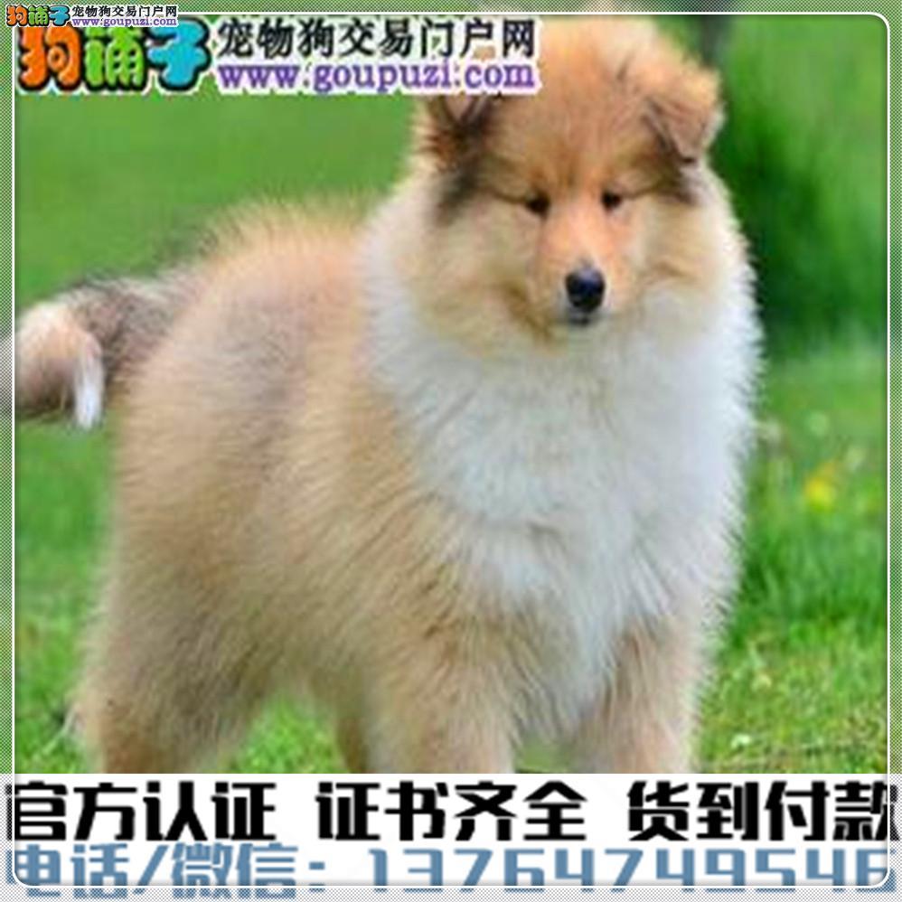 犬舍繁殖纯种苏格兰牧羊犬纯种健康养活 可签协议