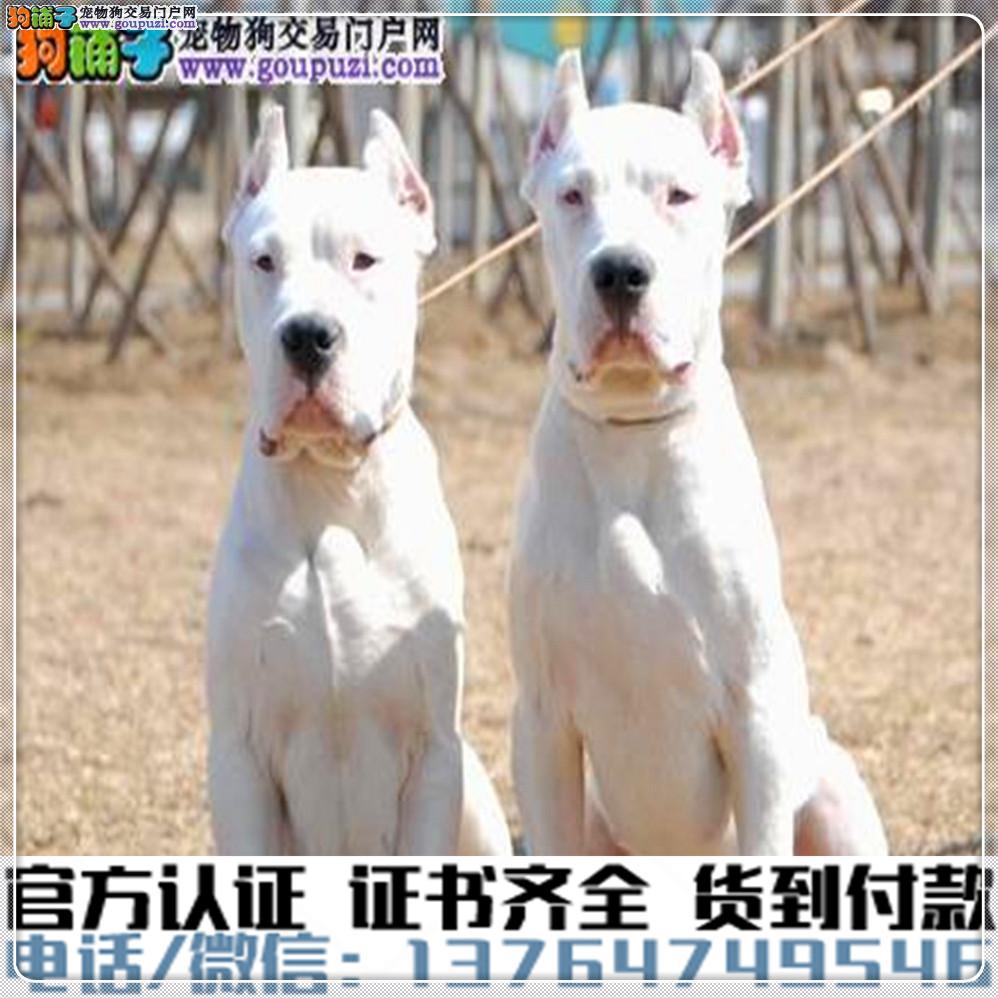 犬舍繁殖纯种杜高犬纯种健康养活可签协议
